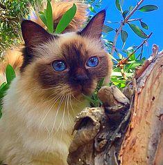 Chocolate Point Ragdoll Cat Model Cat @Katara_Princess_of_Power