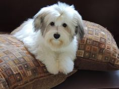 Nc Havanese Puppies For Sale Havanese Puppies For Sale Havanese Puppies Havanese Dogs