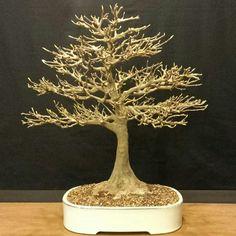 L'ABC del Verde Acero buergeriano Trident maple #bonsai