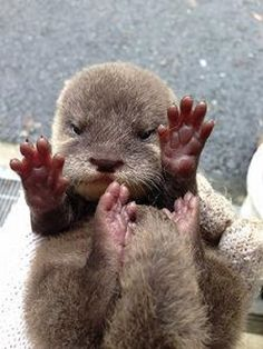 A baby otter opens its eyes for the first time