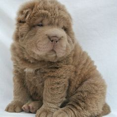 Fluffy Shar Pei - Bear Coat Shar Pei - Yuanpei Shar Pei SOUTHPORT UK! #SHARPEI #BEARCOATSHARPEI #FLUFFYPUPPY