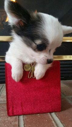 This is yours or mine. Chihuahua Quotes, Chihuahua Love, Chihuahua Puppies, Cute Puppies, Dogs And Puppies, Rat Terrier Dogs, Cutest Puppy Ever, Chiwawa, Animal Humor