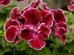 "Pelargonium ""Charmay Electo"""
