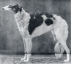 """The Borzoi, named for the Russian word meaning """"swift"""", is a noble breed with a long and colourful history. The breed originated in Russia and was closely associated with the aristocracy."""