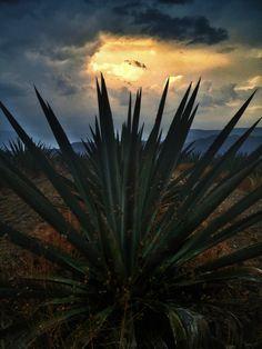 Agave field, Oaxaca, Mexico