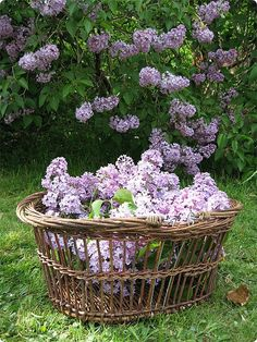 Heaven in a basket - lilac. I need to find a way to fit a lilac into my garden. Colorful Roses, My Secret Garden, Dream Garden, Beautiful Gardens, Shrubs, Garden Landscaping, Outdoor Gardens, Beautiful Flowers, Gorgeous Gorgeous