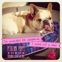Frenchie Poppy is available for adoption... at French Bulldog Rescue Org.