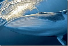 blue whale majestic