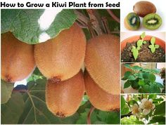 How to Grow a Kiwi Plant from Seed   http://www.diyideasandcrafts.com/how-to-grow-a-kiwi-plant-from-seed/