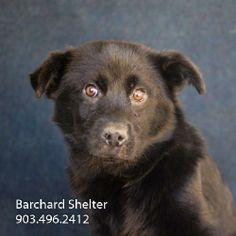Meet Paine-121d a Petfinder adoptable Chow Chow Dog | Wolfe City, TX | ~~~~~~~~~~~~~~~~~~~~~~~~~~~~~~~~~~~~~~~~~~~~~~~~~~~~~~~The Frank Barchard Memorial Animal Shelter...