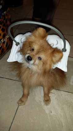 5/17/16 SL!!   3/31/16 Jackson is an adoptable Pomeranian searching for a forever family near Irvine, CA. Use Petfinder to find adoptable pets in your area.