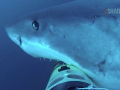 SharkCam not treated kindly by great whites - GrindTV.com