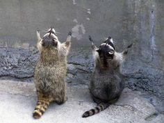 Зверье мое. В Витебске  Пока жителей Витебска тянет весной на природу, природу тянет из леса прямо в Витебск.Может быть, эти два факта как-то и связаны между собой, но не будем думать об отдыхающих плохо. Только этой весной диких животных в городе видели неоднокра