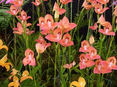 """""""Peach Glasgow Orchids"""" by Circe Lucas"""