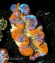 Gold foil blue maxima clam from ReefKoi is practically one of a kind. The gold foil maxima clam is a particulalry unique mutation we've seen only once before in giant clams. Coral Reef Aquarium, Marine Aquarium, Saltwater Fish Tanks, Saltwater Aquarium, Metallic Gold, Gold Foil, Blue Gold, Sea Clams, Lights