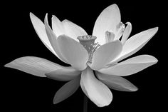 White Lotus from Classic Black and White Collection Awards: Place - Black Canvas Contest Place - Flowers in Black and White Contest A solitary Lotus in full bloom rendered in classic black and white. Lotus Kunst, Lotus Art, Black And White Flowers, White Lotus, High Contrast Photos, Camera Art, Thing 1, Floral Photography, White Picture