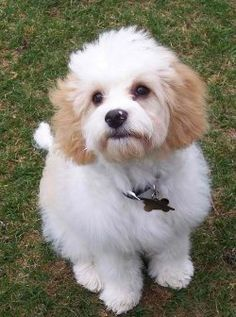 Wow, this Cavachon looks just like my cavachon, Chloe. Got her 5 years ago!