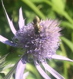 Tiny native bee enjoying the sea holly in my Massachusetts yard, 7/2/14.