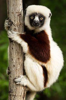 Lemur, Coquerel'S Sifaka, Sifaka