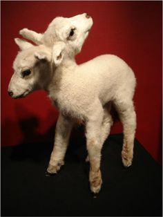 Two headed Lamb Taxidermy