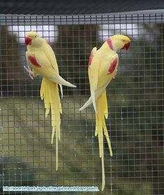 Alexandrine parrot couple. Never seen this variety.