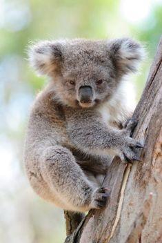 Koala by on DeviantArt Cute Little Animals, Cute Funny Animals, Koala Tattoo, Cute Koala Bear, The Wombats, Australia Animals, Arctic Animals, Little Critter, Mundo Animal
