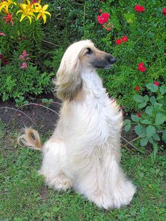 Afghan Hound was one of the first dogs I remember as a young girl and thought it was the most beautiful dog ever.