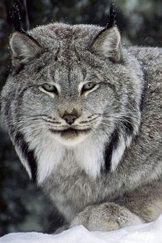 the lynx...my spirit animal~