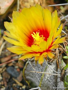 The beautiful flower of the small cactus Astrophytum capricorne
