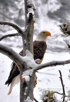 Types of Eagles - American Bald Eagle art portraits, photographs, information and just plain fun Pretty Birds, Love Birds, Beautiful Birds, Animals Beautiful, Cute Animals, Beautiful Pictures, Animals In Snow, The Eagles, Bald Eagles