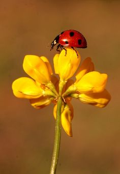 Ladybugs. by Necdet Yasar