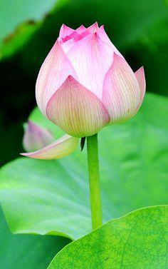 Beautiful Lotus  #lotusflower #beautiful Lotus Bud, Lotus Plant, Lotus Flowers, Flower Images, Flower Pictures, Sacred Lotus, Daisy Painting, Framed Wallpaper, Humming Bird Feeders