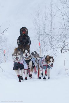 Allen Moore Leaving Dawson City during the running of Yukon Quest 2014. Dogs obviously doing what they love. Copyright: © Julien Schroder