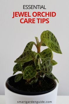 One of my favorite houseplants of all time, the stunning Jewel orchid. I cover all aspects of Jewel orchid care, to help your plant grow and thrive. Indoor Flowering Plants, Blooming Plants, Outdoor Plants, Air Plants, Orchids In Water, Jewel Orchid, Growing Orchids, Smart Garden, House Plant Care