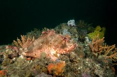 https://flic.kr/p/TZECZr   In my garden - Red scorpionfish - Scorpaena jacksoniensis #marinexplorer   Shiprock