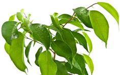 Nahansicht Blätter der Birkenfeige