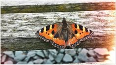 Red Admiral - last of autumn