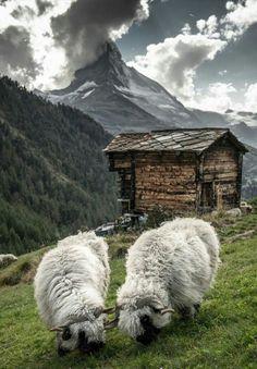 black nose valais sheep in Zermatt. Farm Animals, Animals And Pets, Cute Animals, Valais Blacknose Sheep, Photo Libre, Zermatt, Clydesdale, Tier Fotos, Mundo Animal