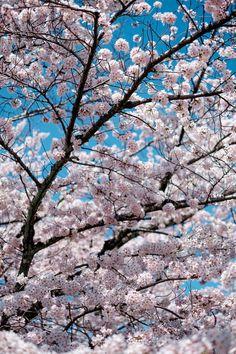 Cherry Blossomn - Tokyo Japan
