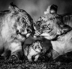 Two lioness one cub