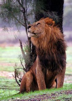 http://animals.nationalgeographic.com/animals/big-cats-initiative/get-involved/ Wild Creatures, Animals Beautiful, Beautiful Lion, Majestic Animals, Beautiful Creatures, Cute Animals, King King, King Simba, Male Lion