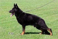 bi color german shepherd - Yahoo Image Search Results