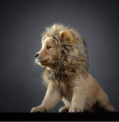 Hilarious Animals That Rocked Their Pet Costumes This Halloween - this adorable puppy with a lion mane. Dog Lion Costume, Puppy Halloween Costumes, Puppy Costume, Pet Costumes, Dog Halloween, Halloween Christmas, Halloween Party, Christmas Dog, Costume Ideas