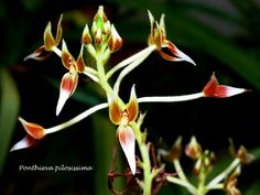 Ponthieva pilosissima (Senghas) Dodson 1996