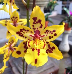 https://flic.kr/p/jZU1Lo   Oncidium Tiger Crow 'Golden Girl' HCC/AOS (Tiger Hambuhren x Crowborough) Z-16941   Formerly a Odontocidium Flower - 2.5 inches Plant - 39 inches blooming with pot