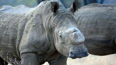 Le Zimbabwe a décidé de décorner 700 rhinocéros adultes pour réduire la valeur…