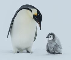 This Penguin Species Could Disappear By the End of the Century   Reader's Digest Penguin Breeds, Penguin Species, Bird Species, March Of The Penguins, Baby Penguins, Penguin Pictures, Cute Pictures, Fluffy Animals, Cute Animals