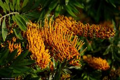 Grevillea Robusta - Silky Oak - © All Rights Reserved - Black Diamond Images