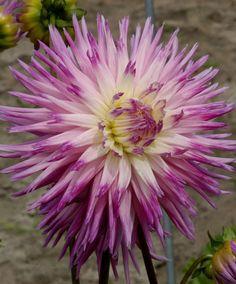 Dalie Veritable - #fiori e #giardinaggio - #bakker