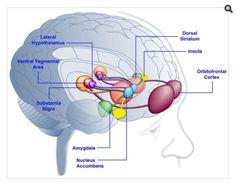 Nucleus accumbens brains pinterest nucleus accumbens image result for parts of the brain nucleus accumbens ccuart Images